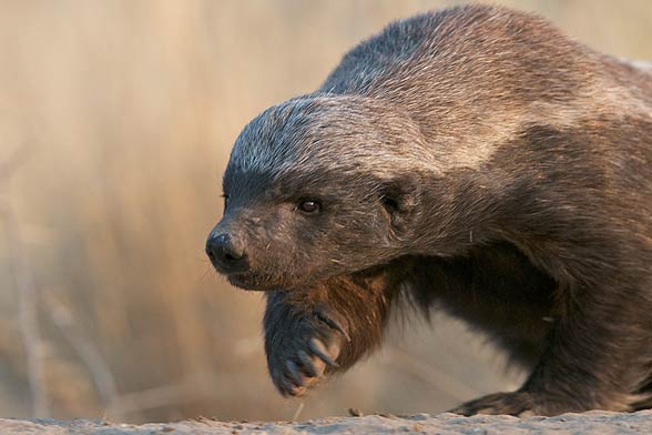 Ratel, the honey badger (Mellivora capensis).