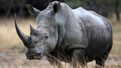 Photo of Rhinoceros – thick-skinned colossus
