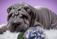 Photo of Shar Pei – a true individualist
