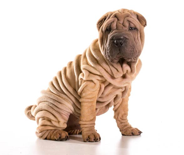 What Are Shar Pei Dogs Like