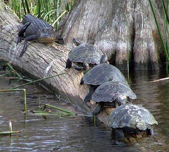 Turtles are fearless creatures :)