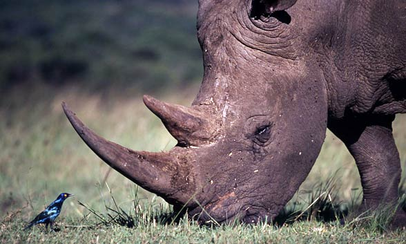 The white African square-lipped and blunt-nosed rhinoceros (Ceratotherium simum).