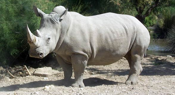 The white African square-lipped and blunt-nosed rhinoceros (Ceratotherium simum).