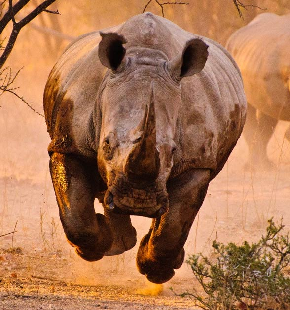 The white rhinoceros- the demonstration of strength