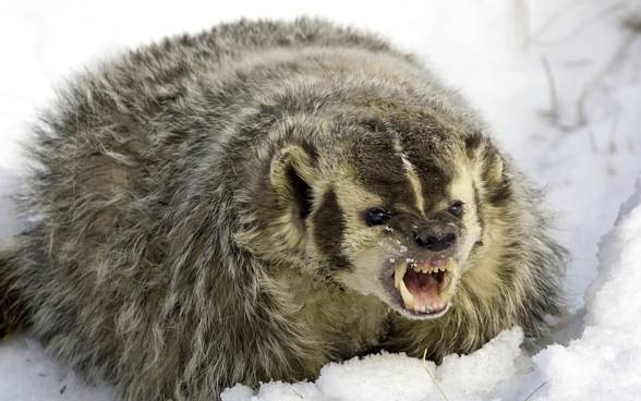The American badger (Texidea taxus).