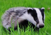 Photo of Badger – omnivorous animal