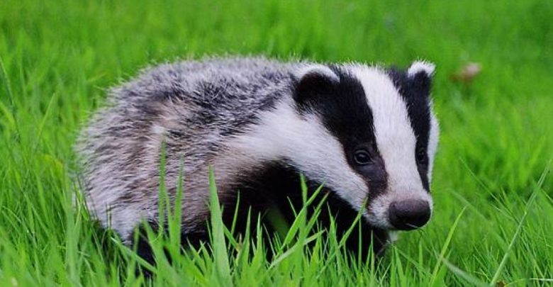 Photo of Badger – omnivorous animal