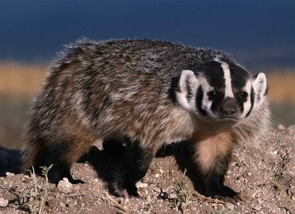 The American badger (Taxidea taxus).
