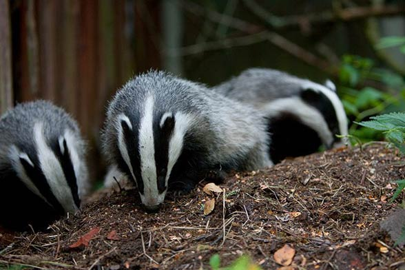Badgers live up to 15 years in wild.