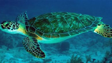 Photo of Green sea turtle, Pacific green turtle
