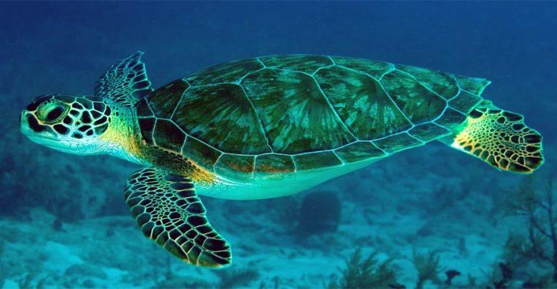 Photo of Green sea turtle, Pacific green turtle