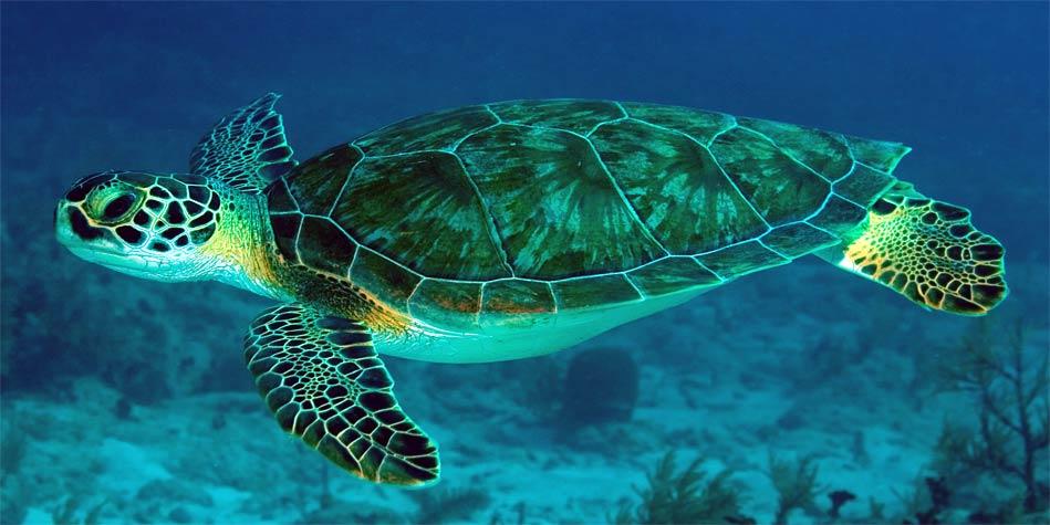 Green sea turtle, Pacific green turtle   DinoAnimals.com