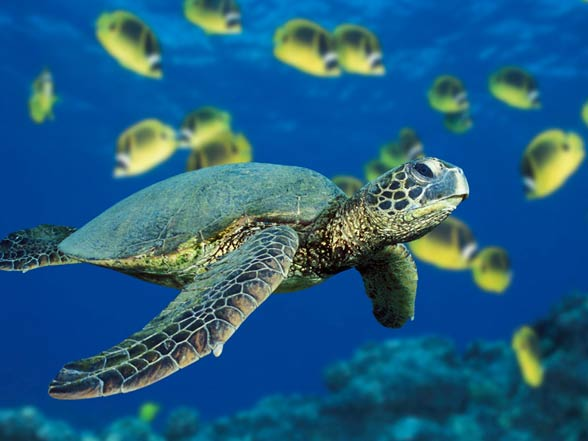 Image result for pacific green turtle