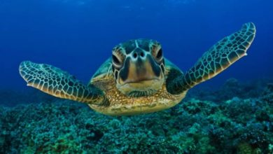 Photo of Loggerhead sea turtle (Caretta caretta)