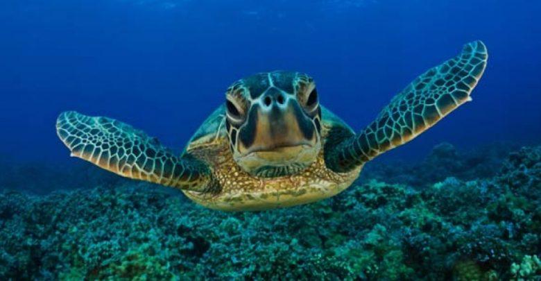Photo of Loggerhead sea turtle (Caretta caretta)