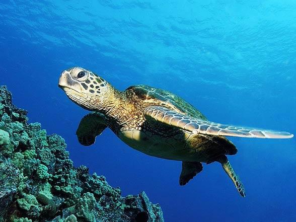 Loggerhead sea turtle (Caretta caretta) | DinoAnimals.com