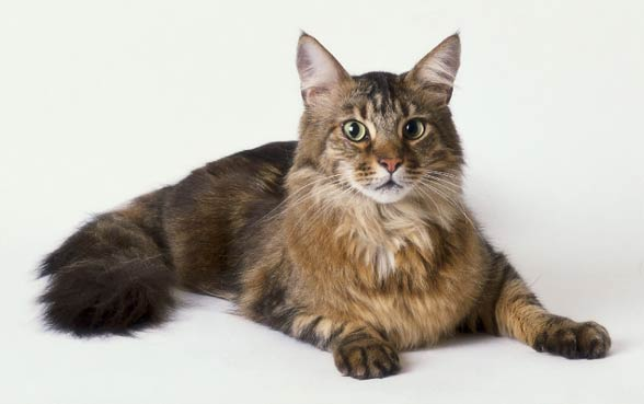 Maine coon.