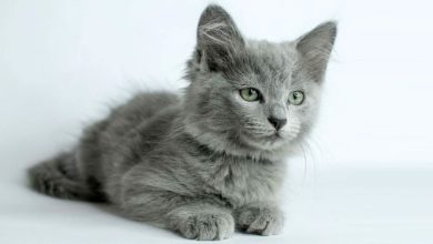 Photo of Nebelung – a cat from fairytales