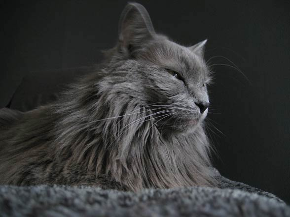 Nebelung A Cat From Fairytales Dinoanimals Com