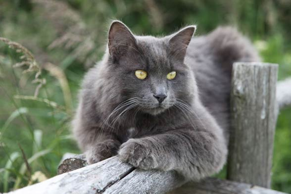 Nebelung Cat Uk