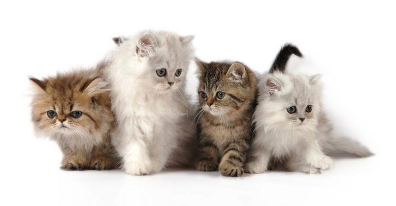 Photo of Persian cat