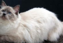 Photo of Ragdoll – cat with blue eyes
