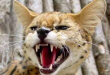 Photo of Savannah cat