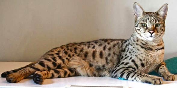 Savannah cat.