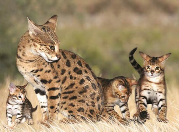 Savannah cat | DinoAnimals com