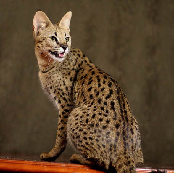 Savannah cat