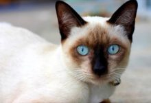 Photo of Siamese cat – a dog-like cat