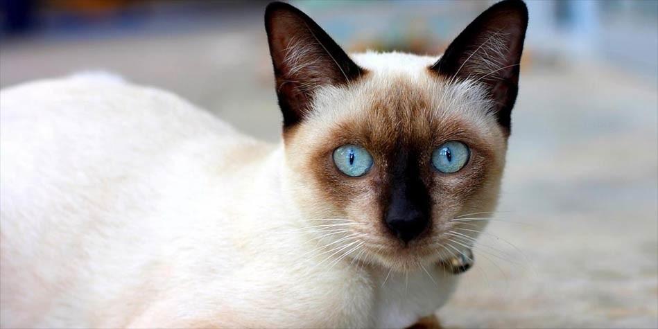 Photo of Siamese cat – a dog-like cat