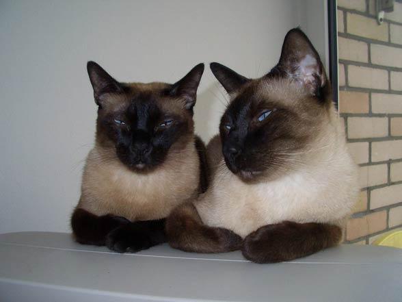 Siamese cats.