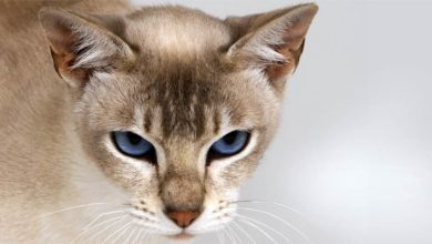 Photo of Tonkinese cat – active and intelligent cat