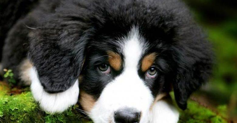 Photo of Bernese mountain dog