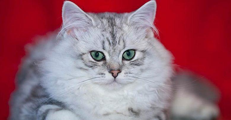 Photo of British Longhair cat