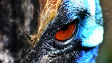 Photo of The cassowary