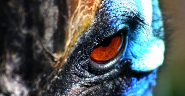 Photo of The cassowary