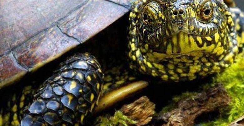 Photo of European pond turtle (Emys orbicularis)