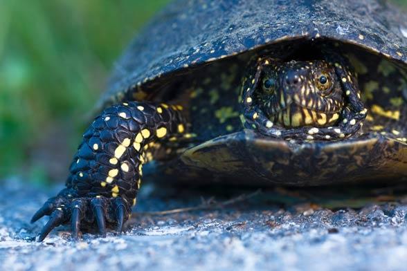 European pond turtle
