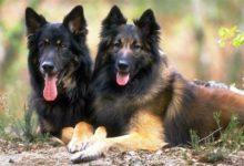 Photo of German Shepherd – smart and faithful dog
