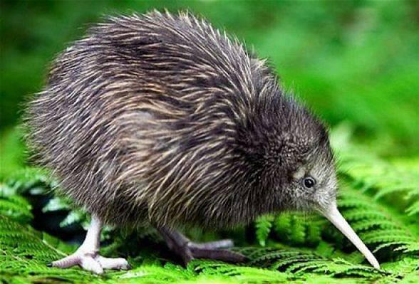 Kiwi (Apteryx)