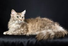 Photo of LaPerm – cat with permanent