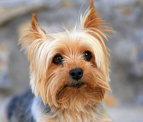 Small Silver Dog Breeds