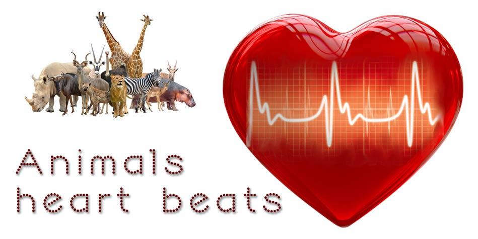 Heart Rates Of Animals Top 10 Dinoanimals