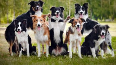 Photo of Border Collie – the smartest dog in the world