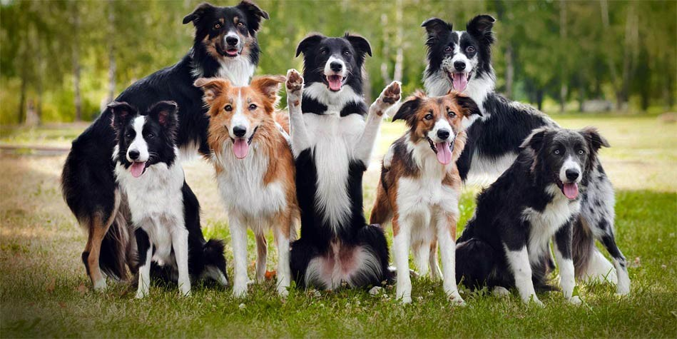 border collie the smartest dog in the world dinoanimals com