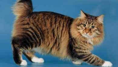 Photo of Cymric cat – longhair Manx cat