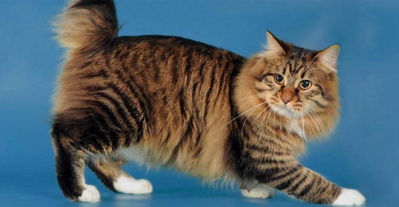 Photo of Cymric cat – longhair Manx cat