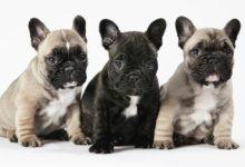 Photo of French Bulldog – companion dog